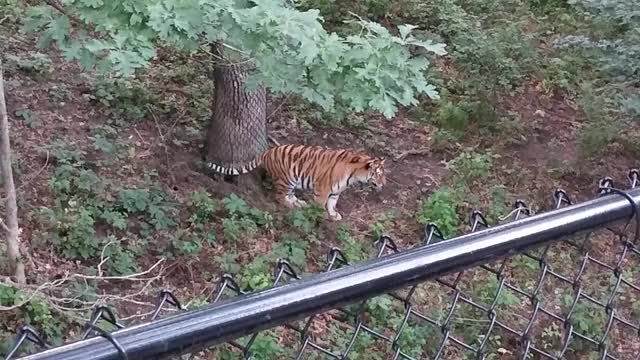 Watch and share Tiger Pouncing GIFs on Gfycat