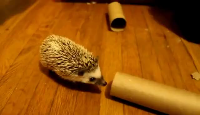 Watch this hedgehog GIF on Gfycat. Discover more animal, animals, cute, funny, hedgehog, hedgehogs GIFs on Gfycat