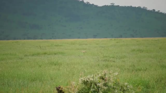 Watch and share Leopard Snatches A Warthog Piglet And Makes It To A Tree GIFs by Pardusco on Gfycat