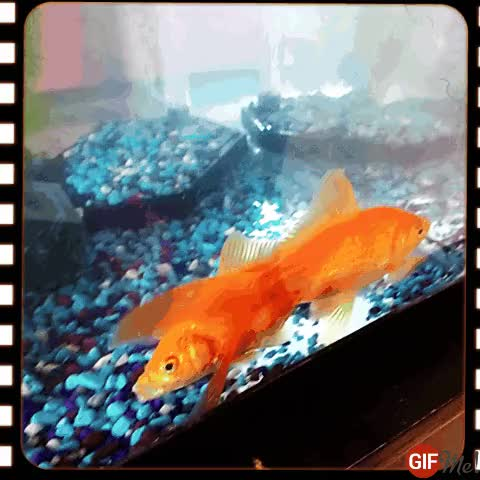 Watch Say what? GIF by SpikeIt (@spikeit) on Gfycat. Discover more Fish, Goldfish, say what GIFs on Gfycat