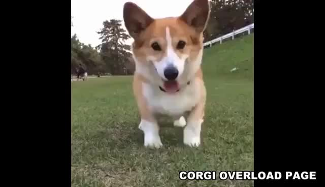 Watch and share Happy Corgi Dancing GIFs on Gfycat