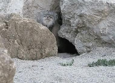 Watch and share Funny Animal Gifs Curious Pallas Cat GIFs on Gfycat