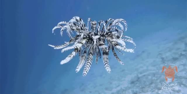 Watch Feather star GIF by Ievgen Marchuk (@ievgenmarchuk) on Gfycat. Discover more bali, featherstar, ocean GIFs on Gfycat