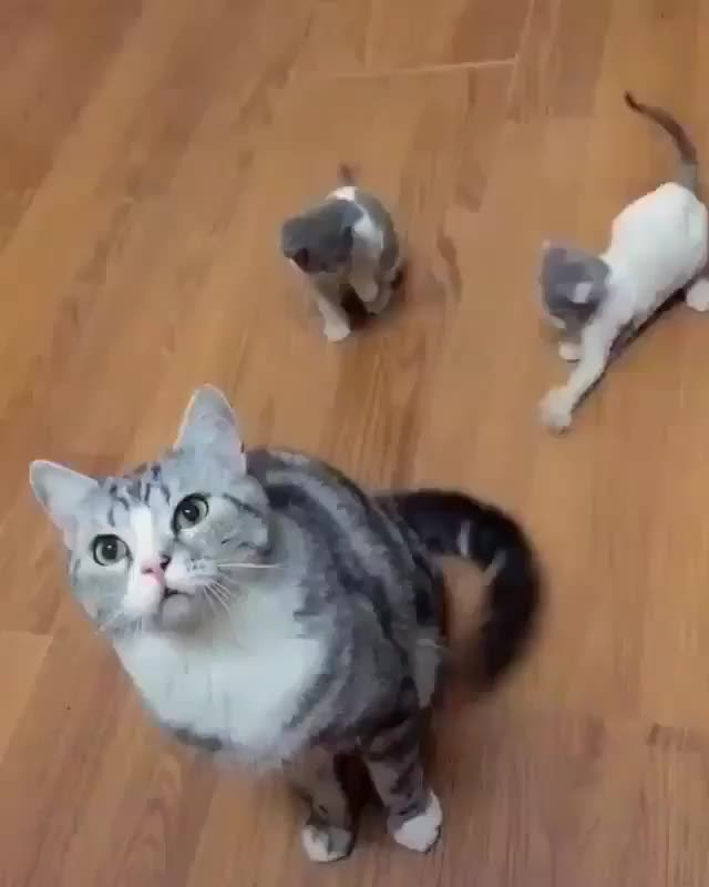 Watch this cat GIF by tothetenthpower (@tothetenthpower) on Gfycat. Discover more cat, cats, cute, kitten, kittens GIFs on Gfycat
