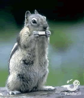 Watch and share Squirrel Harmonica GIFs on Gfycat