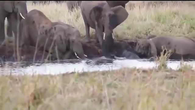 Animals Save animals, Elephant Defends Her Baby From Two Hippo, Elephant Hunting Hippo, Elephant vs Hippo, Elephant vsHippo, Elephants rescue Elephants from Animal Attack, Hippo attack elephant, elephant attack Hippo, elephant save animals, nature, Mother Elephant Defends Her Baby From Two Hippo | Elephants rescue Elephants from Animal Attack GIFs