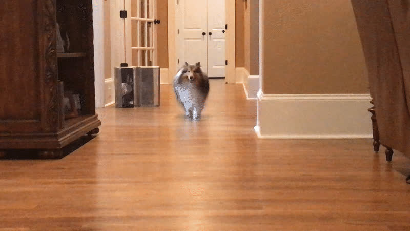 puppy aww cute sheltie dog happy, Looks like someone is happy to see you GIFs