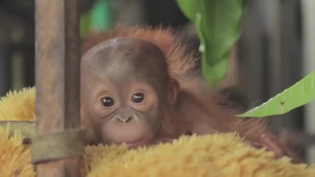 Watch this trending GIF on Gfycat. Discover more Animal, IAR, adopt, adoption, ape, apes, baby, borneo, cute baby animals, deforestation, indonesia, international animal rescue, oil palm, orangutan, orangutans, palm oil, rainforest, rescue, sumatra GIFs on Gfycat