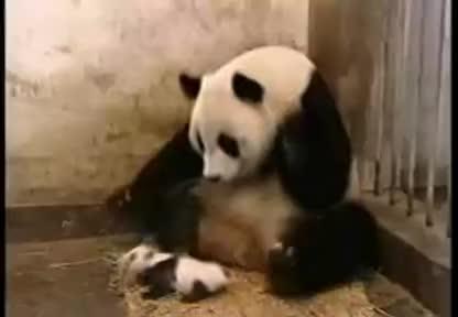 Panda, Sneezing, motion, slow, Sneezing Panda slow motion GIFs