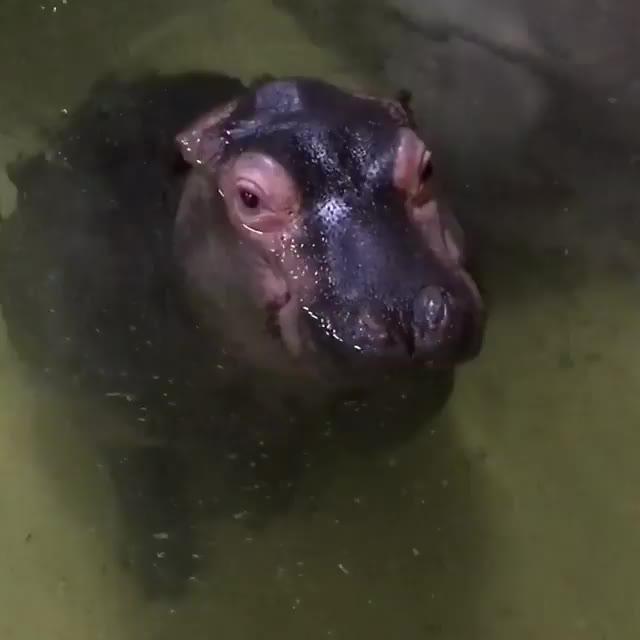 baby animal, cute, hippo, /r/BABY_ANIMAL_GIFS GIFs
