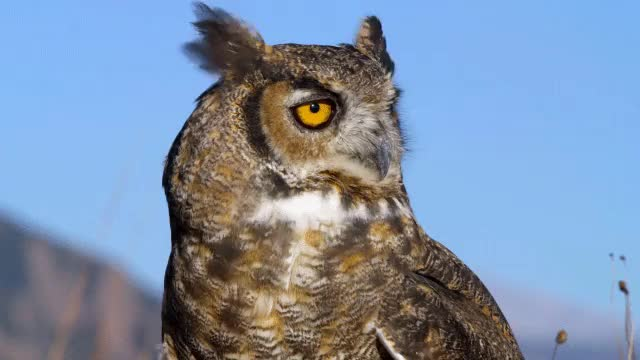 Watch and share Great Horned Owl [oc] (reddit) GIFs on Gfycat