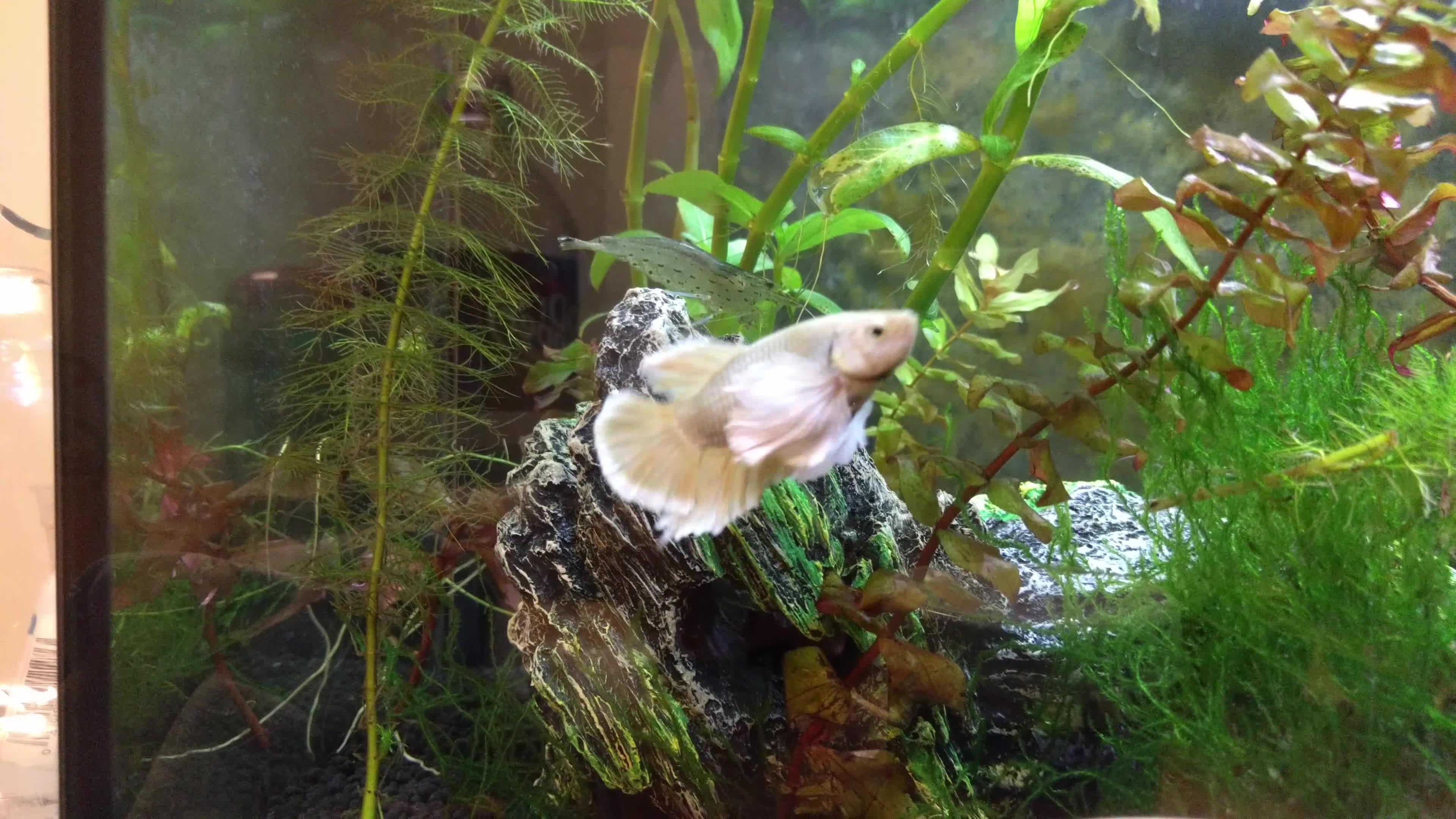 bettafish, Snow GIFs