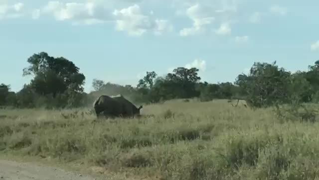 Watch and share Black Rhinos GIFs by gretta on Gfycat