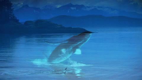 8lo8 Humpback Whales 4K gif GIFs