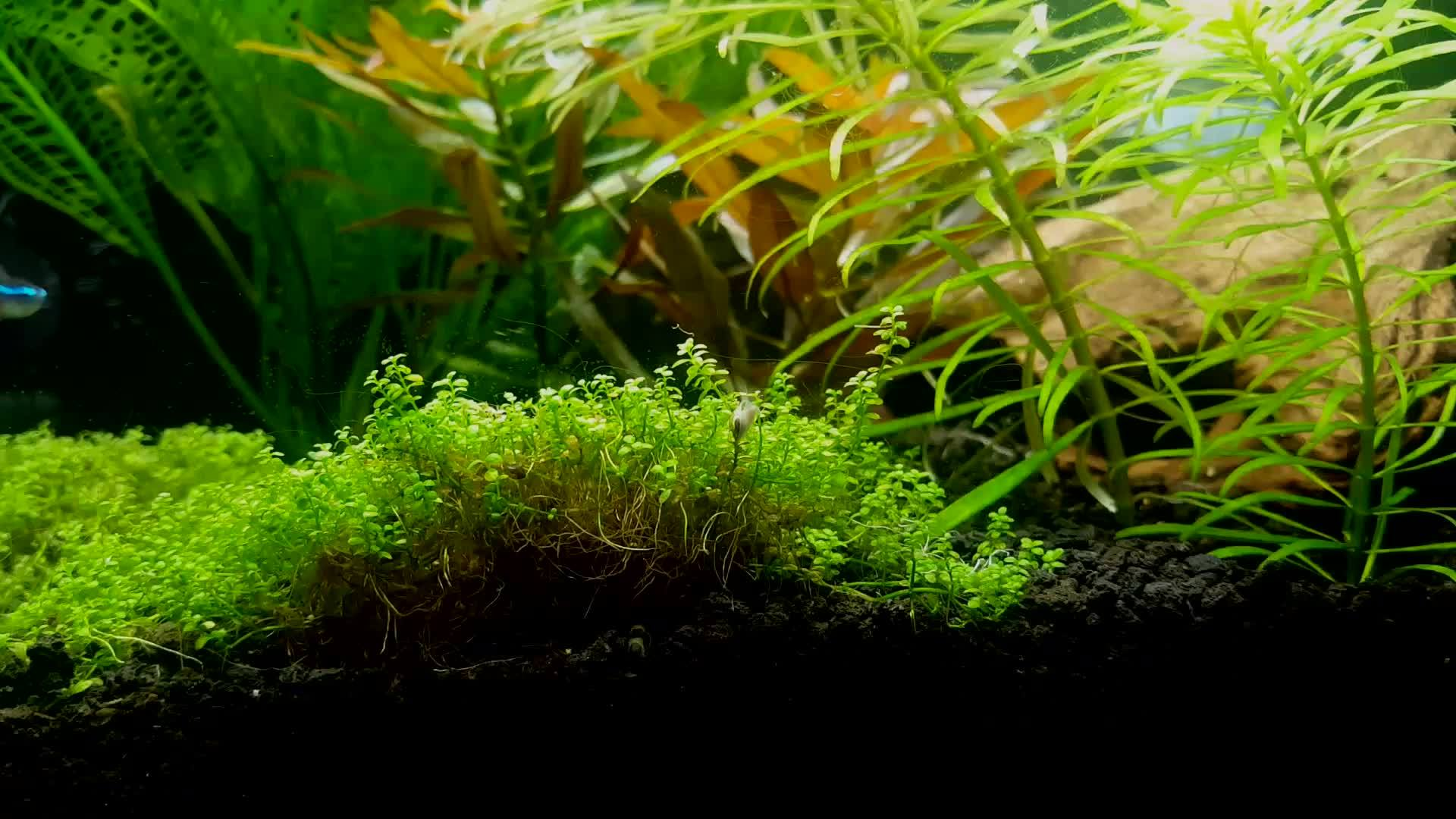 PlantedTank, aquariums, friends, Kuhli made a fort GIFs