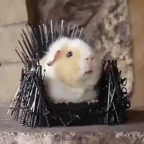 animals/planet, Here I present you the knight king from games of thrones 😂😂❤️❤️ Will you bow to him? 😂😂 🎥 @fuzzbeta GIFs