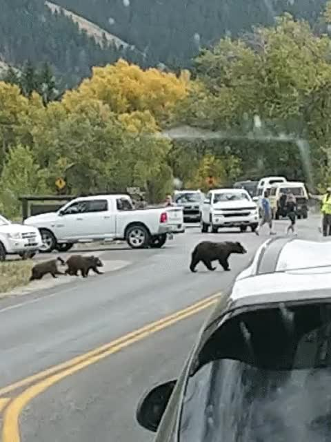 Watch and share Momma Bear And Her Cubs Cross The Street GIFs on Gfycat