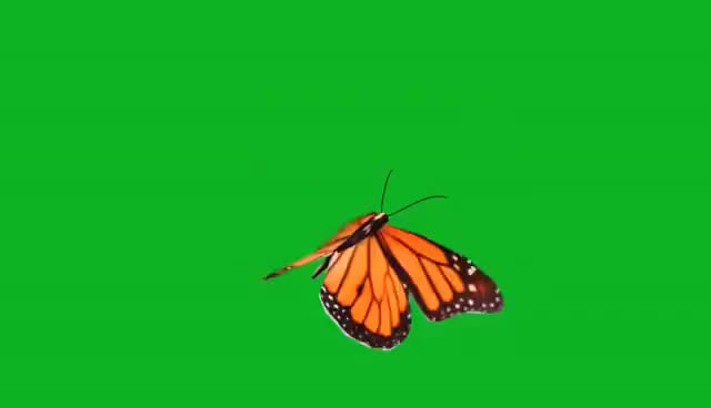 Watch and share Free Green Screen - Flying Butterfly GIFs on Gfycat
