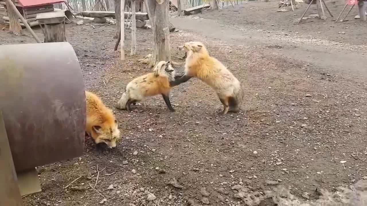 All Tags, Japan, Whatdoesthefoxsay, animal, cute, fox, foxvillage, screaming, Screaming Foxes GIFs