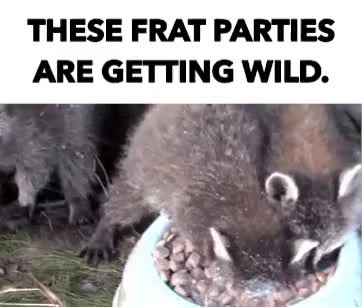 Watch and share Raccoons GIFs and Chug GIFs by Reactions on Gfycat