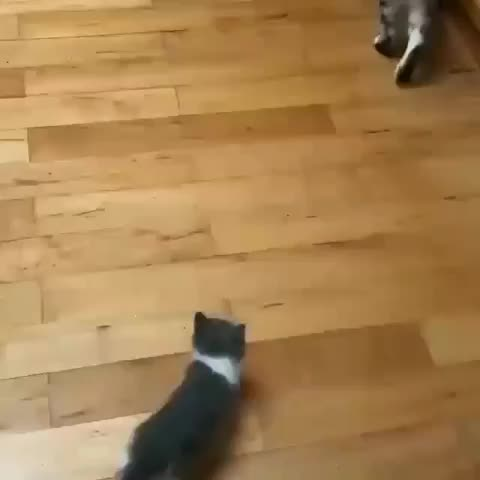 super lovely cat 😍, So funny ❤️❤️🐾🐾 Credits by unknow thank you 😍 GIFs