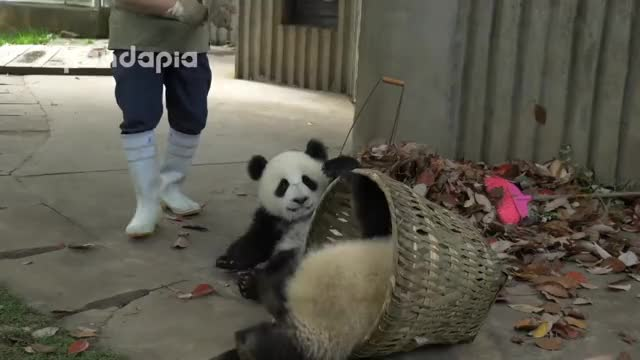 Watch and share Panda Cubs GIFs by Terminal on Gfycat