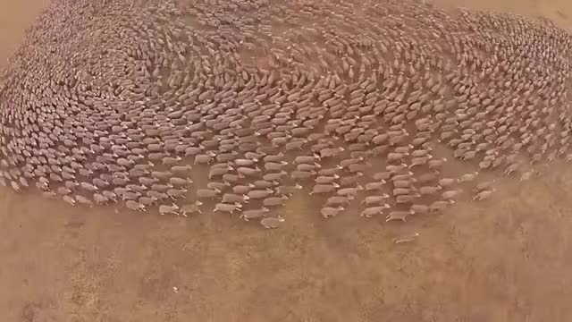 Watch Massive Sheep Herding GIF on Gfycat. Discover more Sheep Movements, Stock Handling GIFs on Gfycat