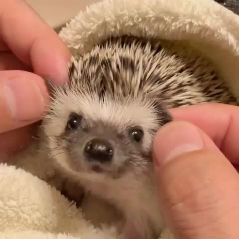 hedgehog, hedgehogbaby, hedgie, lani, yuka, はりねずみ, エキゾチックアニマル, ハリネズミのラニ, ハリネズミベビー, spiny pupper's nose alerts to when he likes the pets GIFs