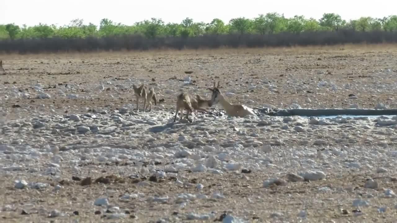 Jackals take down a Springbok GIFs