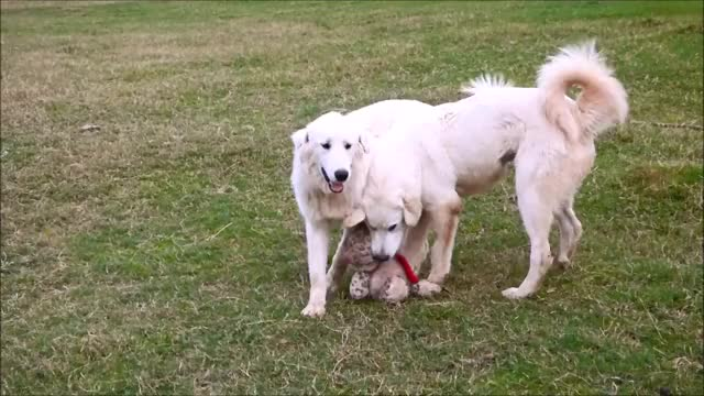Watch Guards Giving Kisses GIF by KNS Farm (@knsfarm) on Gfycat. Discover more aww, cute, dogswithjobs, eyebleach, guardian dogs, knsfarm GIFs on Gfycat