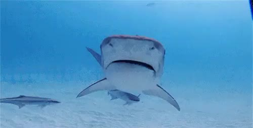 Watch and share Marine Life GIFs and Tiger Shark GIFs on Gfycat