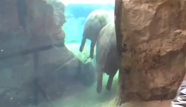 hippo, hippopotamus, hippopotame qui nage GIFs