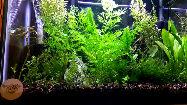 Watch and share Puffer Group Planted Tank 1 Of 3 GIFs on Gfycat