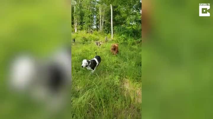Calf dogs GIFs