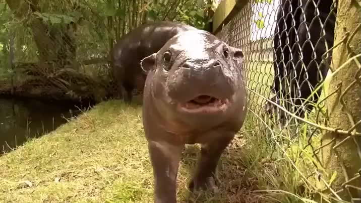 Baby hippo practicing for his first flight. GIFs