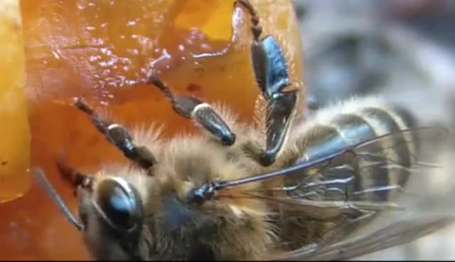 Watch and share Honey Bees Eat Fruits  !    Apis Mellifera Sips Fluids From Ripe Plums GIFs on Gfycat