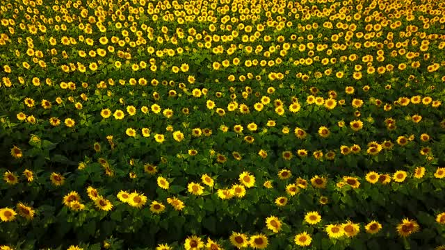 Watch and share Sunflowers GIFs and Drone GIFs by sticktology on Gfycat