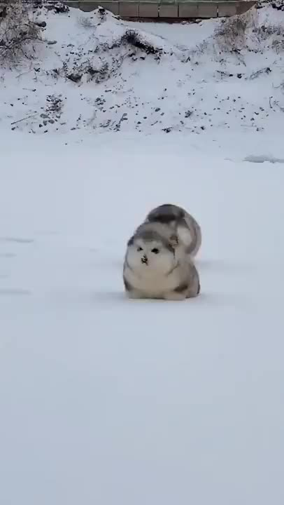 Snowy floof tippy taps GIFs