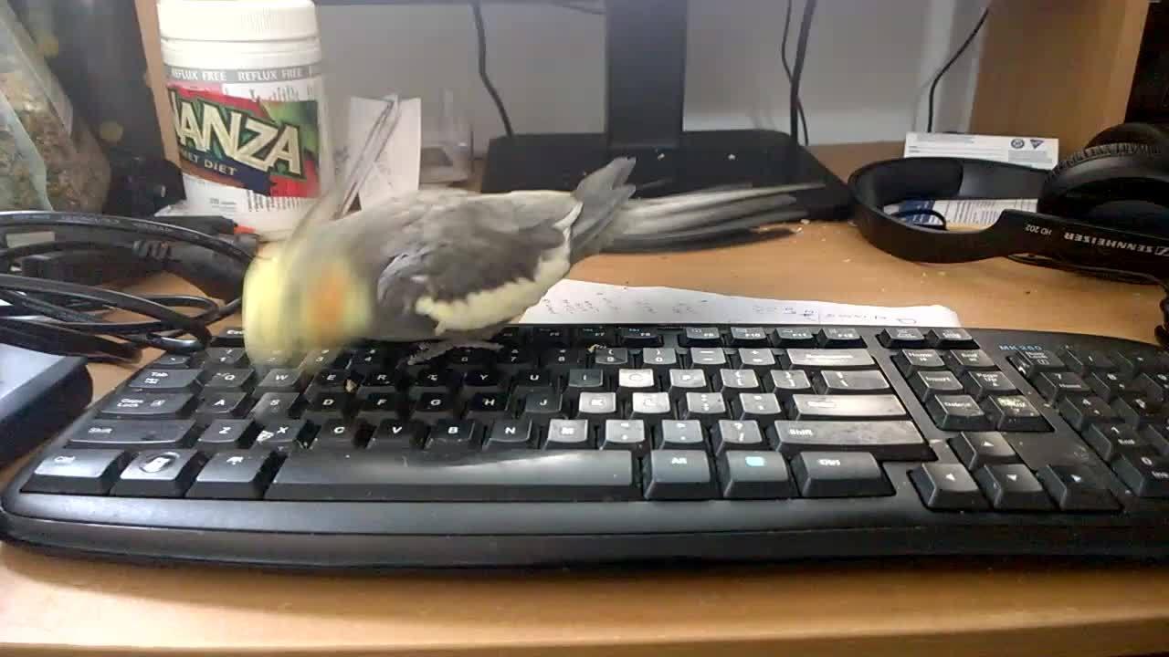 animalgifs, animalsbeingderps, cockatiel, Typing Cockatiel GIFs