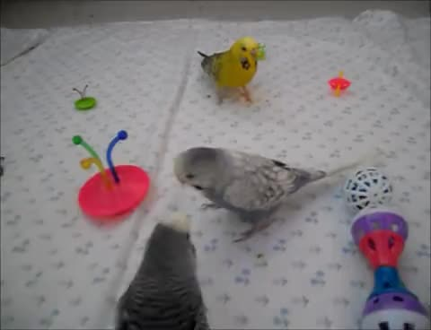 Budgies playing with some new toys GIFs
