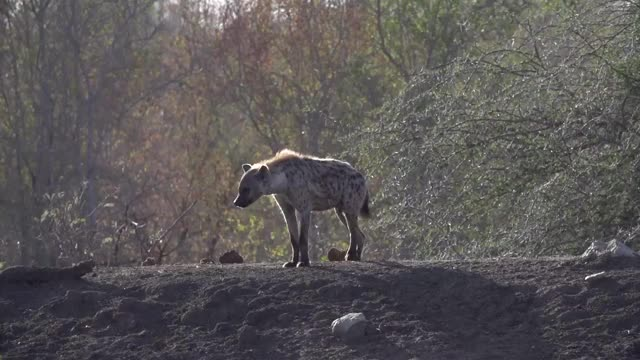 Watch and share Hyena Walking GIFs by Londolozi Game Reserve on Gfycat
