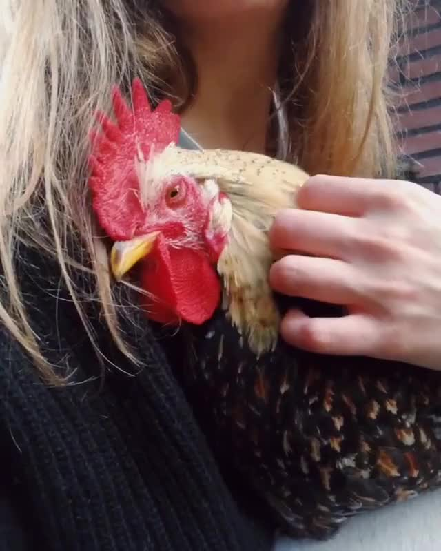Watch and share Chickenlove GIFs and Happyhens GIFs by lnfinity on Gfycat