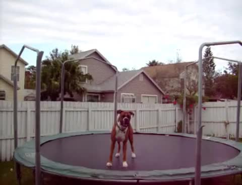 Watch Thank you trampoline boxer! GIF on Gfycat. Discover more animal, cute, dog GIFs on Gfycat