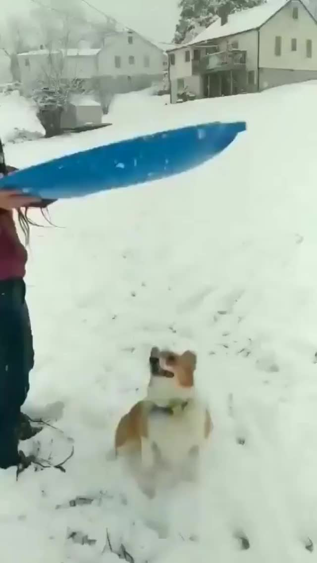 Watch and share Corgi Thinks Sled Is A Giant Frisbee GIFs by likkaon on Gfycat