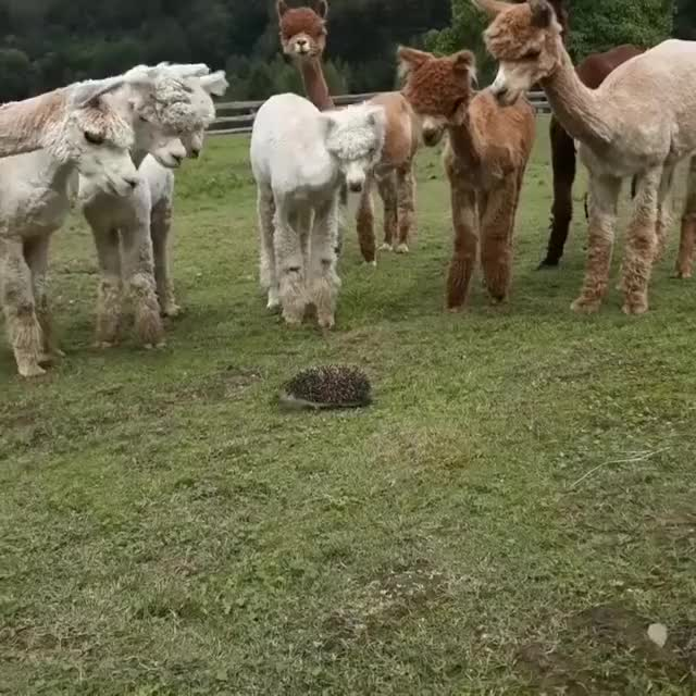 Watch Hedgehog Herding A Pack Of Alpacas Happy New Year Everyone! Yes yes we know ... GIF on Gfycat. Discover more Oxford University Scientific Society GIFs on Gfycat