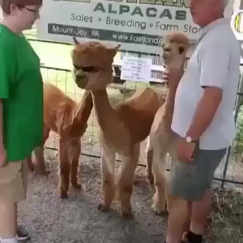 Watch and share Llamas GIFs and Llama GIFs by KSG on Gfycat