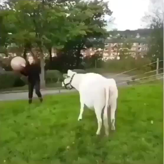 Watch Biggest dog I've ever seen! GIF by KSG (@westhampton) on Gfycat. Discover more related GIFs on Gfycat