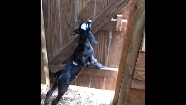 Watch Baby goat opens door, gets stopped by Border Collie GIF by PM_ME_STEAM_K3YS (@pmmesteamk3ys) on Gfycat. Discover more funny videos, gifs, viral videos GIFs on Gfycat