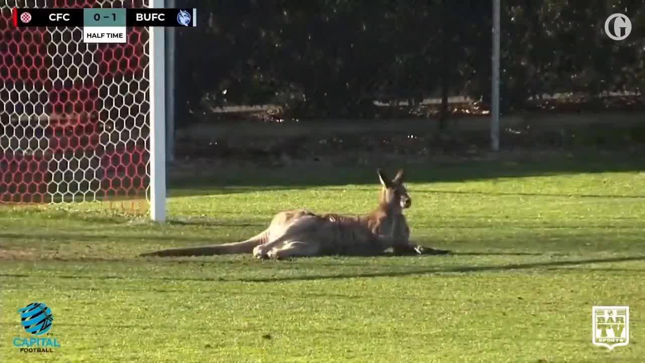 2018, Aussie, Canberra, Football, Kangaroo, animals, au, australia, delay, gdnpfpnewsau, gdnpfpsportfootball, gdnpfpsportother, hopping, sport, Kangaroo invades pitch at football match in Canberra GIFs
