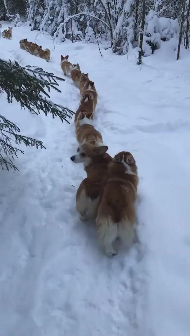 Watch and share Corgi Pups March In Single File To Conceal The Strength Of Their Number From The Enemy GIFs by Mhenvy on Gfycat
